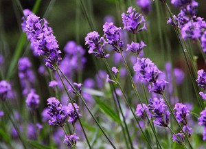 Lavender_01300x217